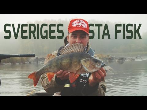 Sveriges mesta fisk