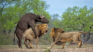 BEST STRONG BUFFALO HERD VS PRIDE LION   Buffalo Versus Lion To Save Mother Buffalo Giving Birth