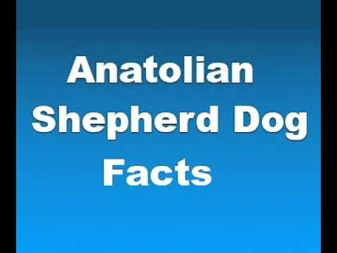 turkish shepherd dog - Anatolian Shepherd Dog Facts - Facts About Anatolian Shepherd Dogs - Please take a moment to Like, Subscribe, and Comment on this video! View Our Channel To ...