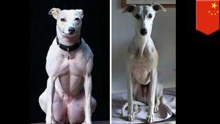 遺伝子操作でムキムキの犬を作る 中国で研究