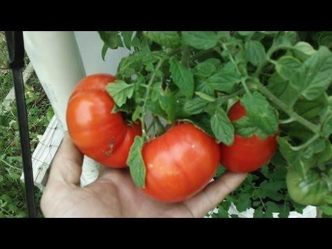 Kratky Method-DWC-Compost Tea Hydroponics #5  Hydroponic Tomatoes