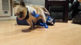 A Dog Tries On Shoes For The First Time
