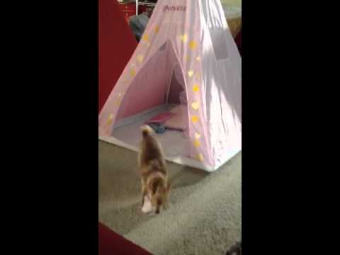 Chihuahua playing ball in a tent