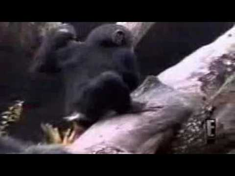Funny videos monkey smells finger from ass falls off tree