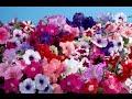 Видео - Как правильно посадить семена петунии на рассаду.
