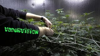 2018 Cali Legal Grow * Day 81 *  Tying Down the Living Soil  into the Trellis by VaderVision