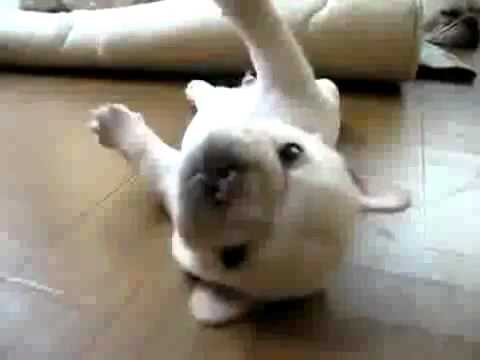 Puppy Pug Can't Get Up – Super Cute Funny Dog Video