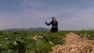 Eper (szamóca) termesztése, ültetése, gondozása - Kertbarátok - Kertészeti TV - műsor