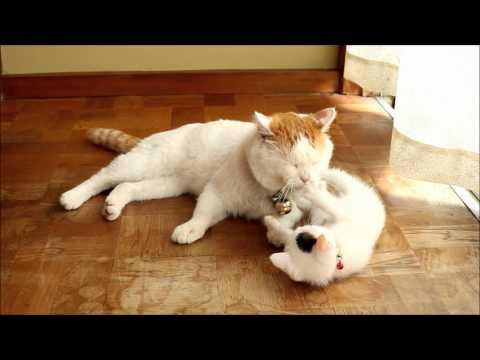 活潑小萌貓把貓叔尾巴當成逗貓棒