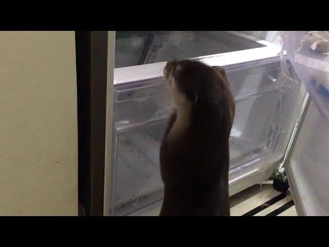 Домашняя выдра хозяйничает в холодильнике