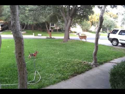 Chihuahua's close encounter with a deer