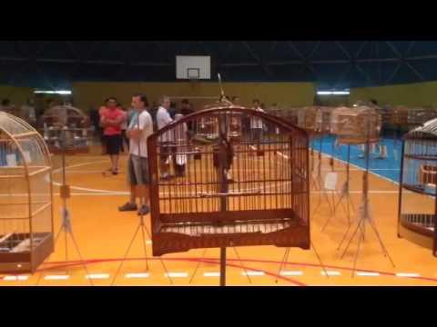 Coleiro TODINHO de Guaratinga, no torneio em Rio Grande do Sul