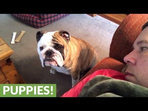 il-bulldog-e-la-richiesta-di-attenzioni