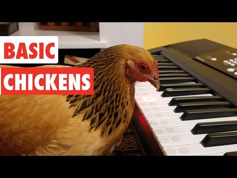 Basic Chickens | Funny Chicken Video Compilation 2020