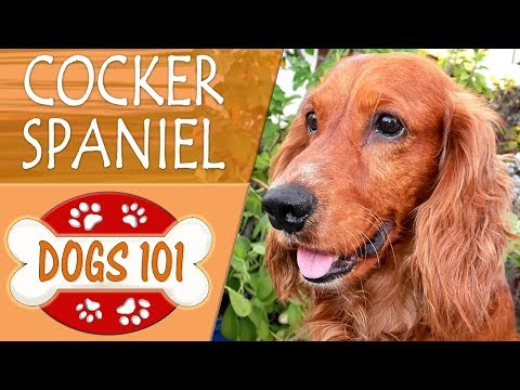 Dogs 101 - ENGLISH COCKER SPANIEL - Top Dog Facts About the ENGLISH COCKER SPANIEL (видео)