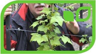 Black Currant Espalier Trees