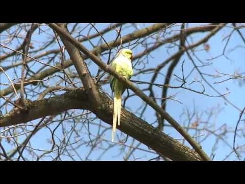 Wiesbaden: Papageien (Halsbandsittiche) vor der Haust ...