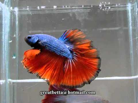 { Sold out } Betta Splendens : (0611-77) Red Blue Dragon HM STM.mp4