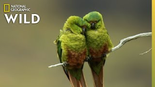 Birds Battle For Territory in Chile | Nat Geo Wild by Nat Geo WILD