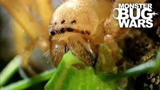 Video Badge Huntsman Spider Vs Spider Hunting Scorpion | MONSTER BUG WARS MP3, 3GP, MP4, WEBM, AVI, FLV Maret 2019