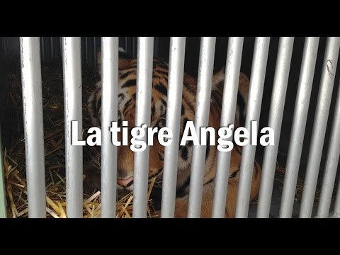 La tigre Angela. Un viaggio per la libertà.