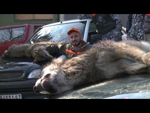 In Serbien ist die Wolfsjagd erlaubt