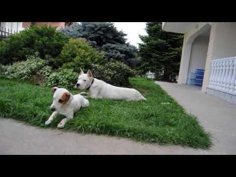un dogo argentino e un jack russell ben addestrati