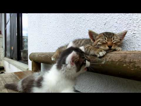 超萌小貓玩耍,玩到自己跌下去