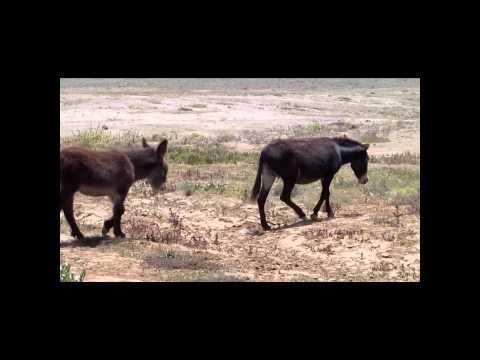 Burros en brama videos videos relacionados con burros en brama - Animales salvajes apareandose ...