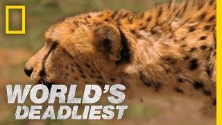 World's Deadliest - Cheetah Hunts Gazelle