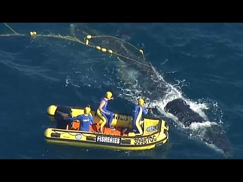 Wal aus Hai-Netz vor der australischen Küste geret ...