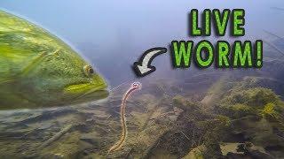 Video Do Bass Actually Eat Worms?? | GoPro Live Worm Footage MP3, 3GP, MP4, WEBM, AVI, FLV Oktober 2018