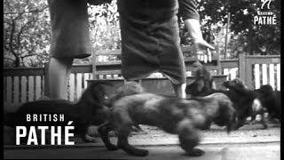 Dachshund Dethrones The Poodle&Police Dog Training School    (1960)