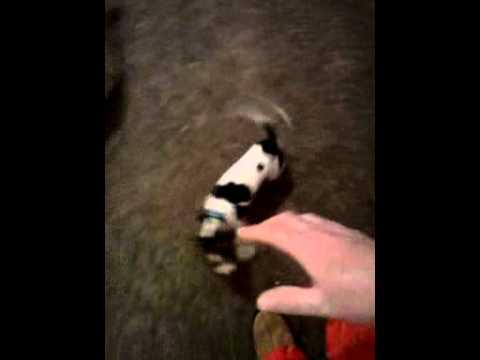 Funny Chi,jumping Chi dog.chihuahua