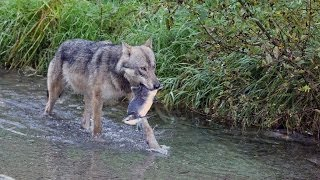 Video Wolf eating salmon after chasing grizzly away, Hyder, Alaska MP3, 3GP, MP4, WEBM, AVI, FLV Juni 2017