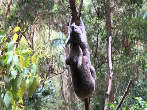 Download Koala sex maybe it's Koala rape HD Mp4 3GP Video and MP3