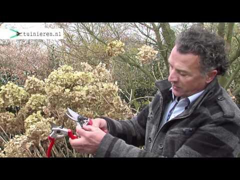 Hortensia snoeien for Intratuin zoetermeer openingstijden