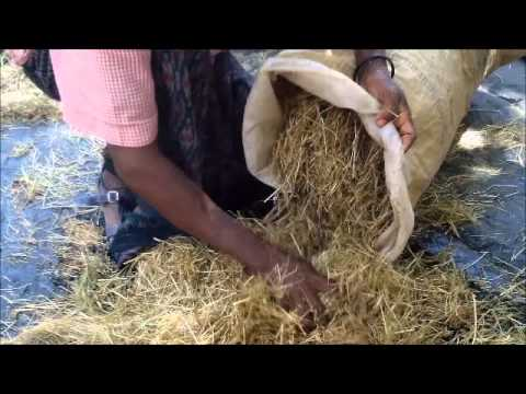 The preparation of  food for the fattening of cattle _ Alamata