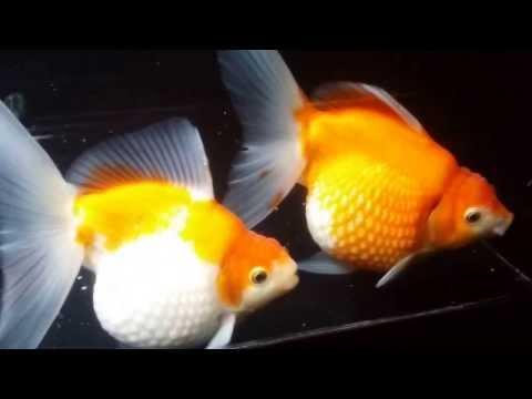 ピンポンパールの育て方 (大人気のま~るい金魚 上手に飼う!) ピンポン当歳12~14cm