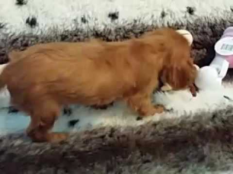 CUTE AS A BUTTON FEMALE CAVALIER KING CHARLES