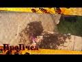 Видео - Как подсадить плодную матку, чтобы ее не убили пчелы. 100% метод