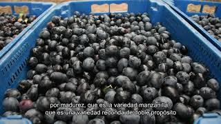 Sol Puntano - Comenzó la cosecha de aceitunas