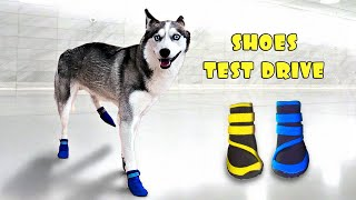 Husky Dog Tries on Shoes for the FIRST time 🐕