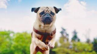 映画『パグ・アクチュアリー ダメな私のワンダフル・ライフ』の予告編/ブサカワなパグ犬が巻き起こす、恋の大騒動!