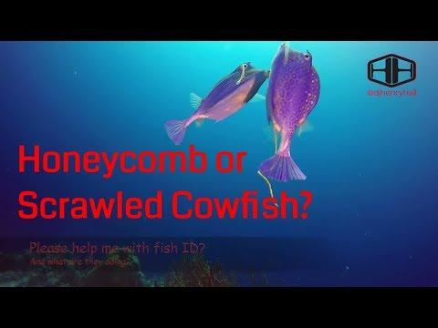 Boxfish - Honeycomb or Scrawled Cowfish?_Legjobb videók: Búvárkodás