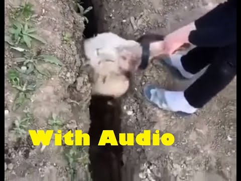 Futilitarian sheep rescue