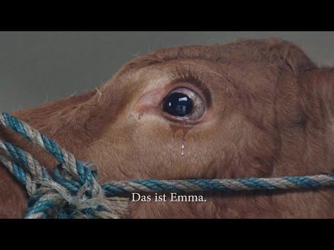 這頭牛全身發抖到最後竟然開始流下眼淚,直到牠確認自己身處的地方後牠終於…