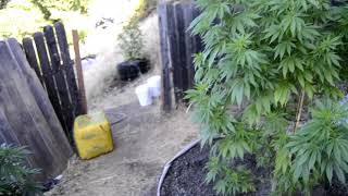 2018 outdoor grow in northern California by Emerald Coast 420