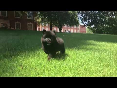 Jazz Pomeranian Puppy