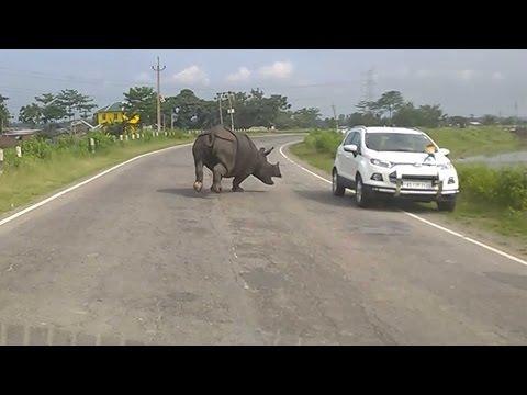 В Индии носорог бегал по трассе и сгонял машины в кювет